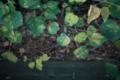 岡山市中区湊の風景写真 - The plant of a bamboo grove