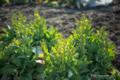 岡山市中区米田の風景写真 - Tenderstem broccoli