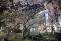 岡山市北区駅前町の風景写真 - Nocturnal view of cherry blossoms