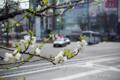 岡山市北区駅元町の風景写真 - Scenery with a white plum