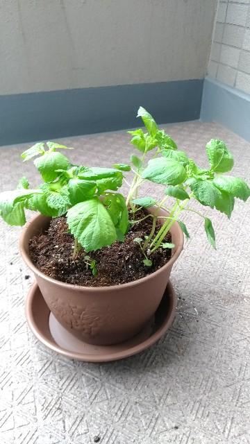 家庭菜園初心者のシソ栽培。順調に育っています。