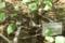 ニュートンのリンゴの木@筑波実験植物園