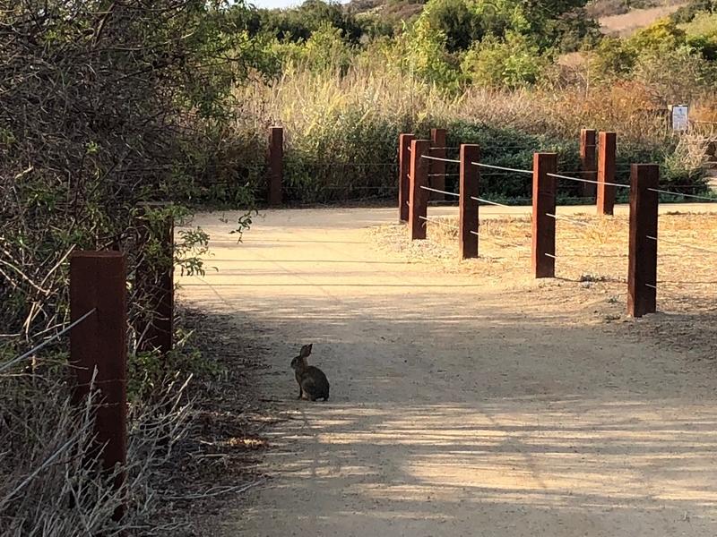 ウサギ アーバイン カリフォルニア