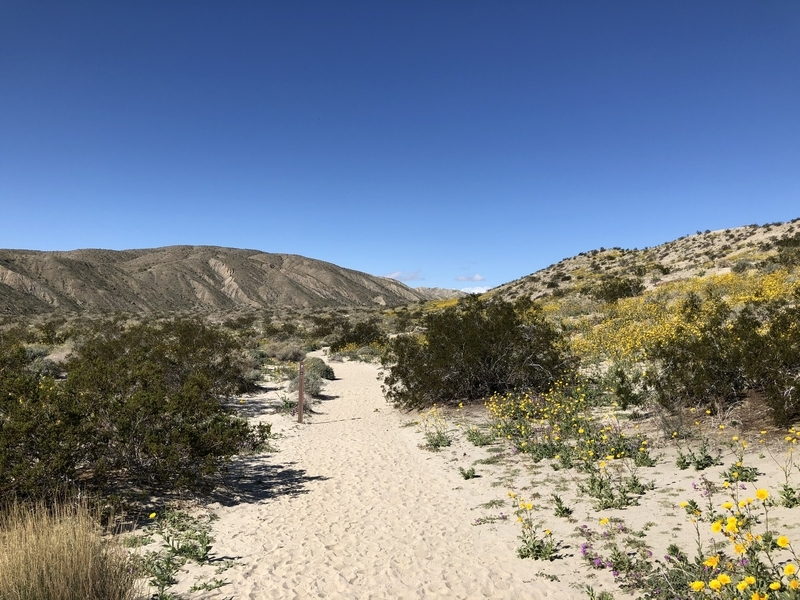 カリフォルニア, サウザンドパームズ, コーチェラバレー, 砂漠, 開花, ムーンカウンティ