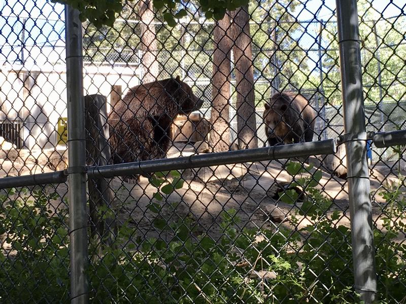 グリズリー ビックベア 動物園 Big Bear Alpine Zoo