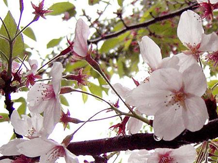 雨の日の葉桜