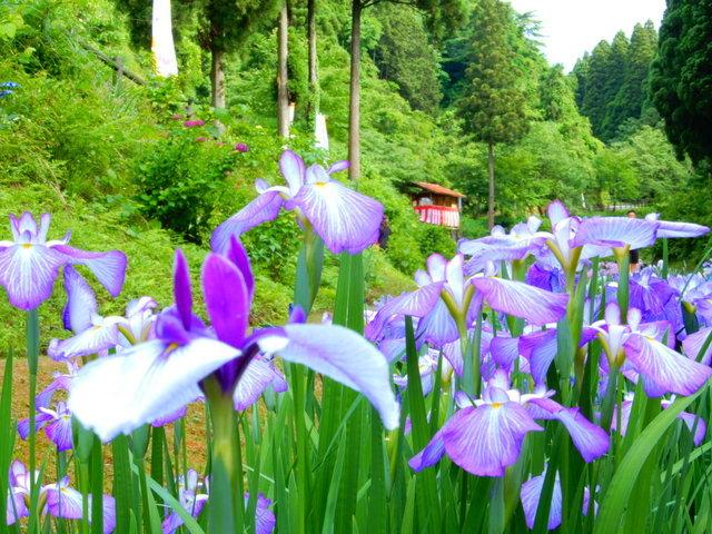 頼成の森 花菖蒲祭り