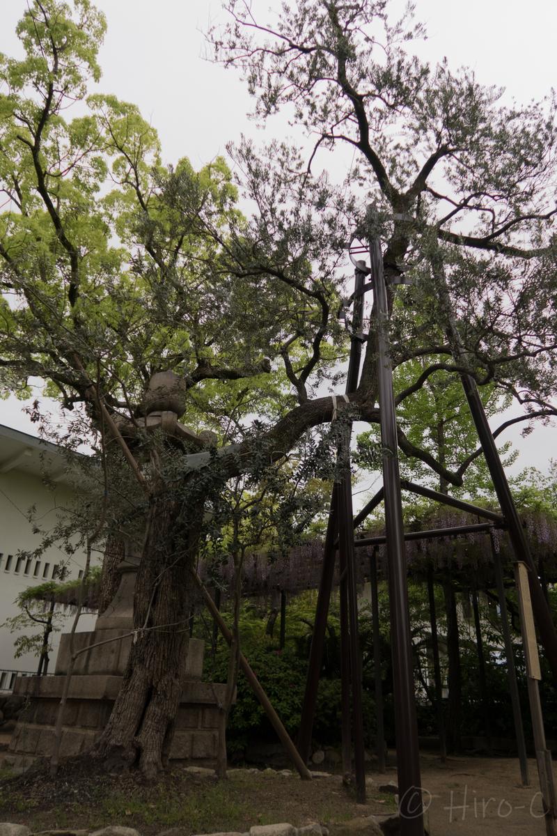 湊川神社境内に生える、日本最古のオリーブの木