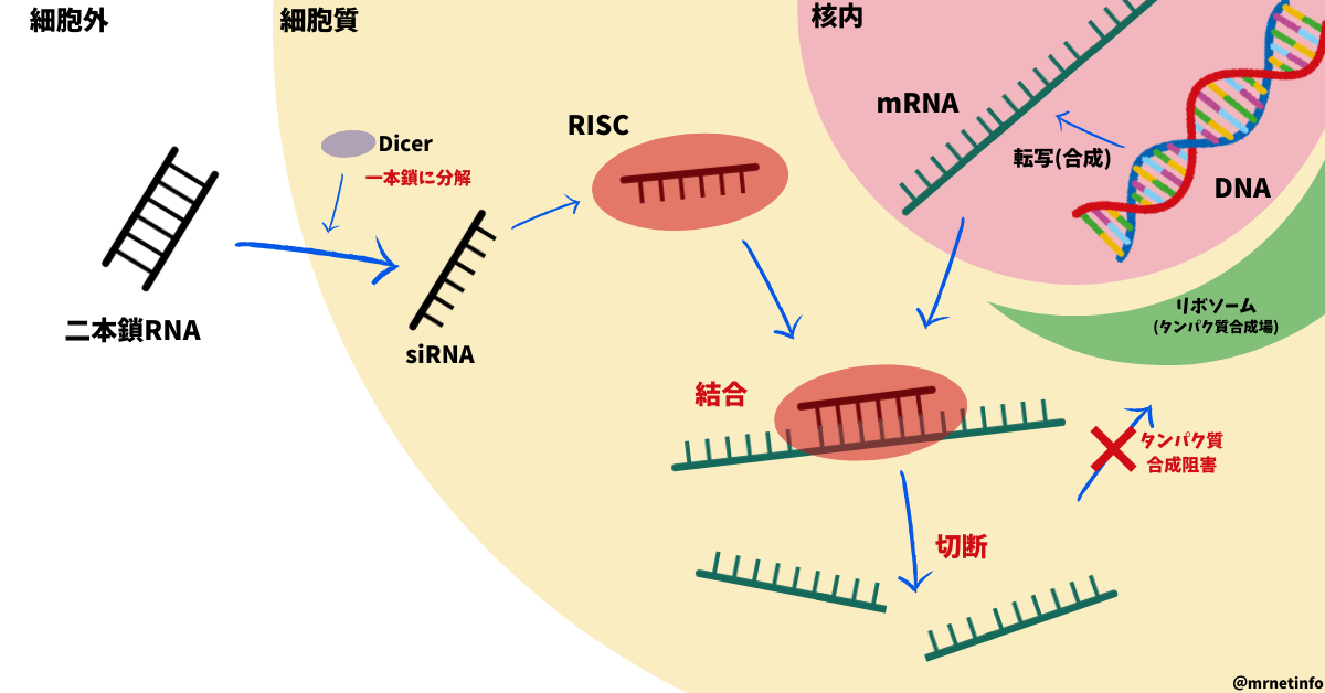 RNA干渉(siRNA)の模式図
