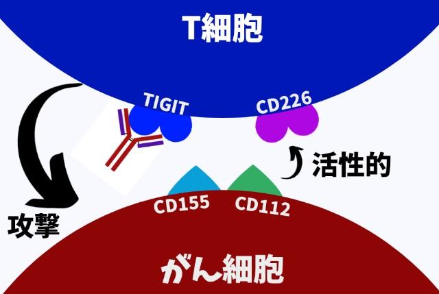 TIGIT抗体の作用機序