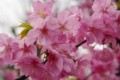 [花]近所の桜