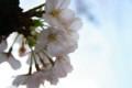 [花]世田谷区の桜