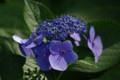 [花]日比谷公園のアジサイ