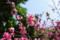 希望ヶ丘公園の桜