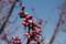 牧野植物園の梅