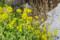牧野植物園の菜の花
