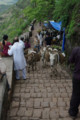 [散歩]Sinhagad Fort, ロバ