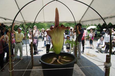 小石川植物園でショクダイオオコンニャクが開花