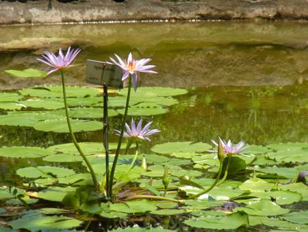 小石川植物園 タンザニア(睡蓮科)