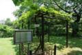 [花]小石川植物園 メンデルのブドウ