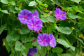 [花]京都府立植物園 ソライロアサガオ