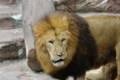 [旅][散歩]円山動物園 ライオン