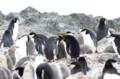 [旅]ハナポイントのヒゲペンギンに混ざるマカロニペンギン