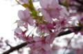[自転車][花]河津桜
