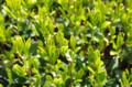 [うおがし銘茶][イベント]新茶塾 2011 第2回 第二工場 自然栽培茶の茶畑