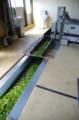 [うおがし銘茶][イベント]新茶塾 2011 第2回 第二工場 茶葉が通るベルトコンベア