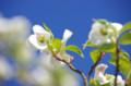 [うおがし銘茶][イベント][花]新茶塾 2011 第2回 金谷駅前のハナミズキ