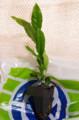[うおがし銘茶][イベント]新茶塾 2011 第2回 お土産のお茶の苗木