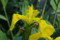 日比谷公園の黄菖蒲