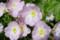 日比谷公園の昼咲月見草