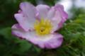 [散歩][花]皇居東御苑のサンショウバラ