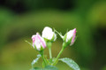 [散歩][花]旧古河庭園 フラウ カール ドルシュキ