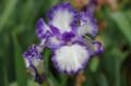 [散歩][花]旧古河庭園 ジャーマンアイリス