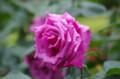 [散歩][花]旧古河庭園 紫雲
