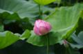 [花]不忍池の蓮