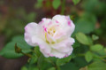 [旅][散歩][花]中之島公園のバラ