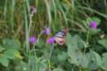 [散歩]高尾山 山頂手前のアザミと蝶