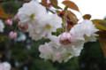 [花]浜離宮 桜