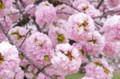 [花]浜離宮 八重桜