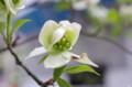 [花]銀座のハナミズキ