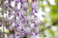[花]芝離宮 藤