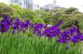 [花]芝離宮 アヤメ