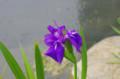 [花]芝離宮 カキツバタ