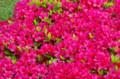 [花]芝離宮 ツツジ