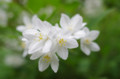 [花]小石川後楽園 ヒメウツギ