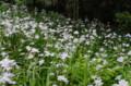 [花]小石川後楽園 シャガ